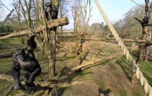 burgers-zoo-chimpansee-drone