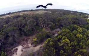 adelaar-drone