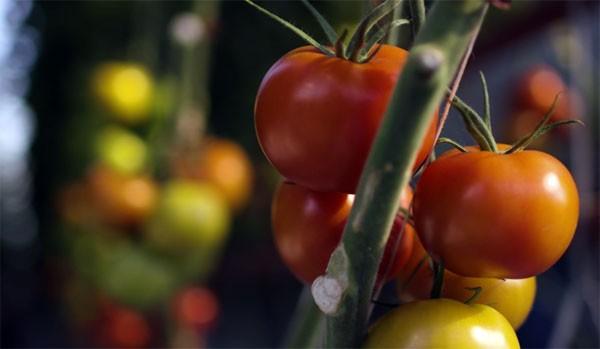 tomaten-australie