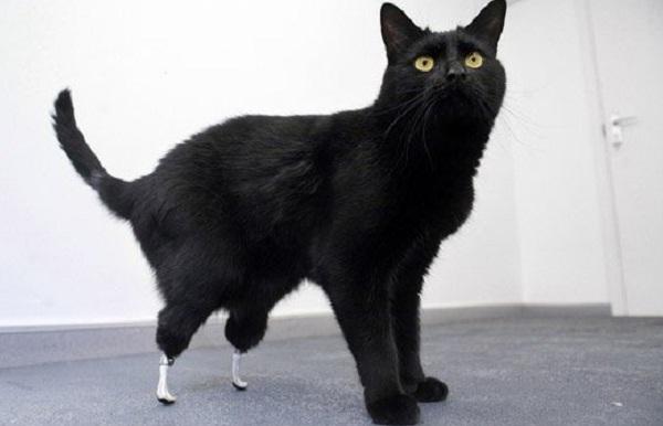 Oscar, de eerste kat met bionische poten
