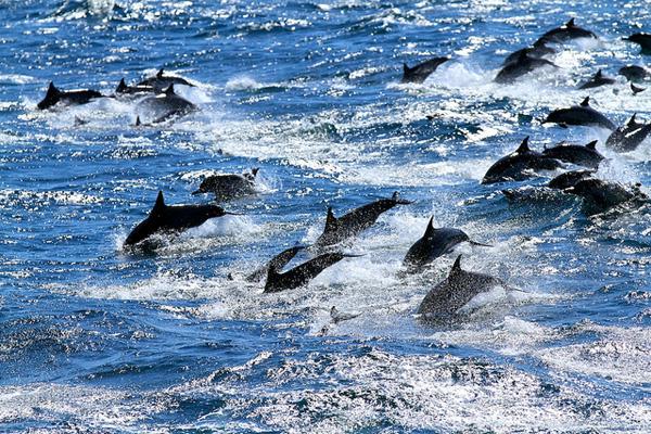 Duizenden dolfijnen en een drietal walvissen, gefilmd met een drone