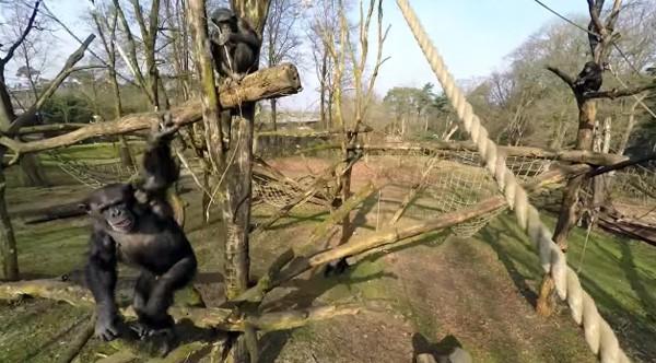 Deze chimpansee in Burgers' Zoo heeft een hekel aan drones