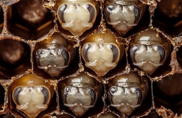 Deze schitterende timelapse-video laat zien hoe bijen zich ontwikkelen