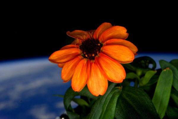 De eerste bloem die de mensheid in de ruimte heeft laten groeien