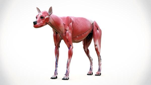 Een synthetische hond voor dierenartsen