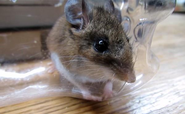Zo maak je een diervriendelijke muizenval met boeken en een fles