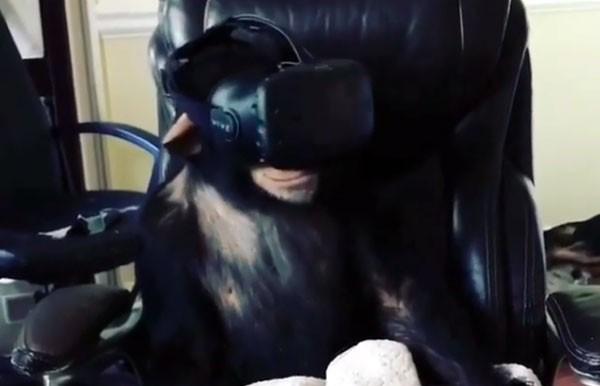 Ook chimpansees zijn onder de indruk van virtual reality