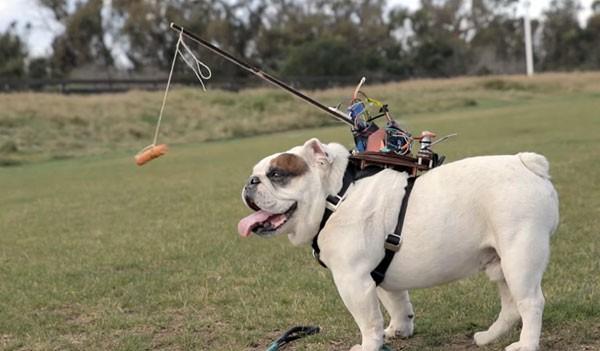 Met worstjes en robotica een bulldog op afstand besturen