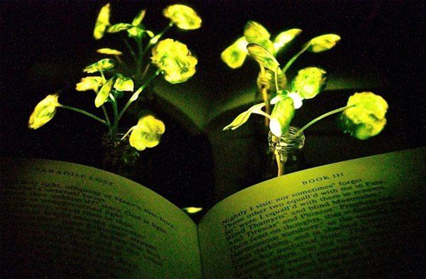 Wetenschappers hebben zeer zuinige lichtgevende planten ontwikkeld
