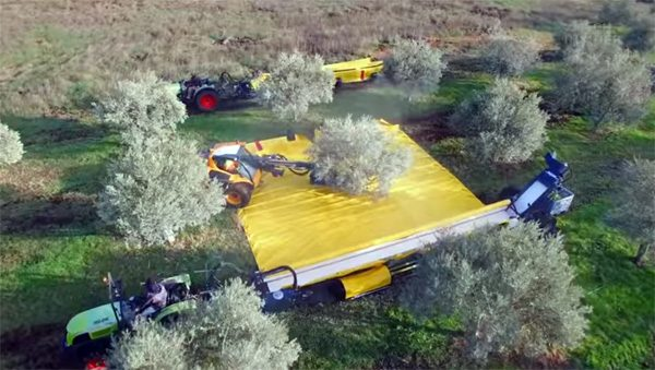 Deze specialistische machines oogsten razendsnel olijven