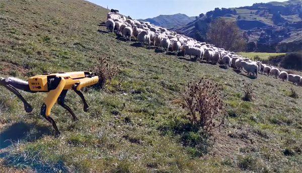 Robothond Spot blijkt een prima schaapherder te zijn
