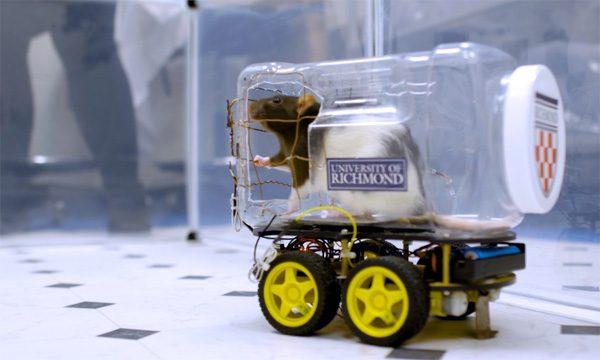 Ratten blijken elektrische wagentjes te kunnen besturen